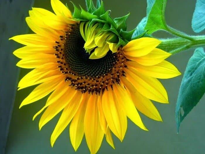Để hướng dương luôn tươi là phải cắm hoa vào bình có nước thật sạch