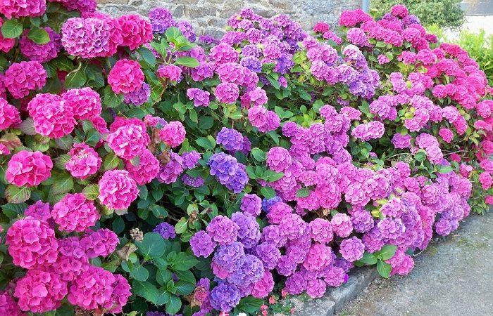 Hoa cẩm tú cầu : Đặc điểm, tác dụng, cách trồng và chăm sóc để hoa nở đều, to, đẹp