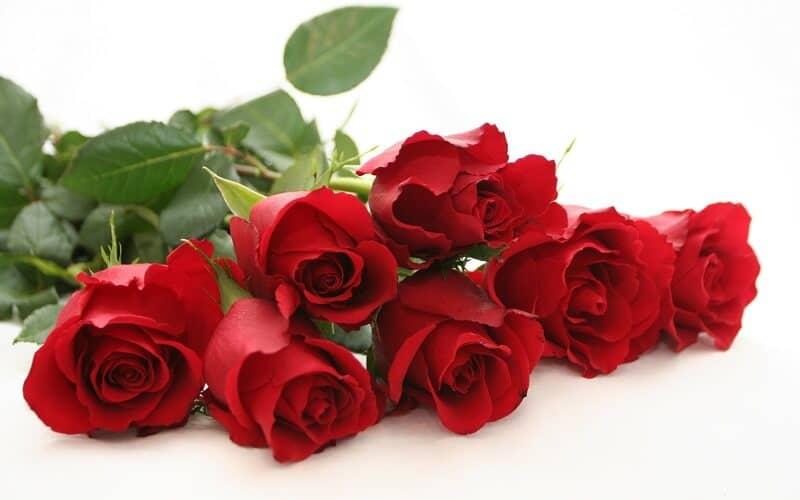 hồng có nhiều màu nhưng nổi bật nhất vẫn là màu đỏ