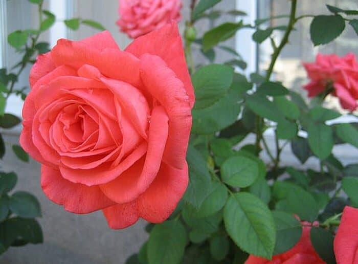 hoa hồng dù trồng trong chậu hay bên ngoài cũng rất đẹp
