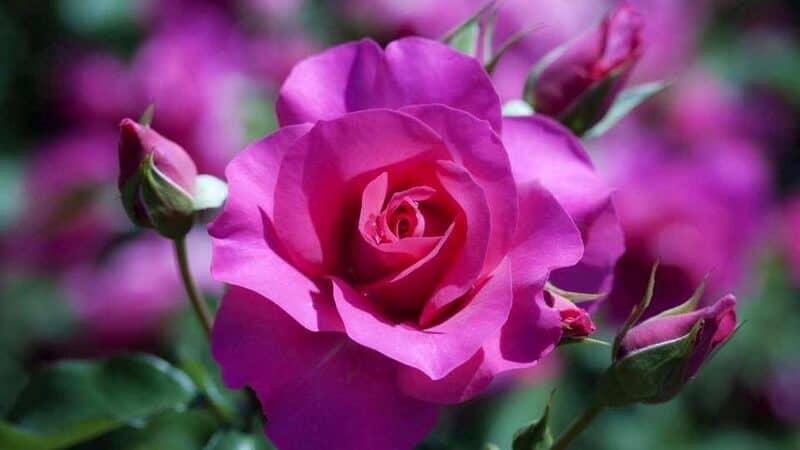 hoa hồng tím tượng trưng cho tình yêu thủy chung