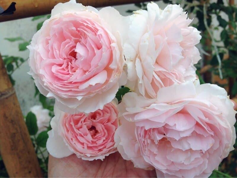 hoa hồng trắng tượng trung cho sự thuần khiết thánh thiện