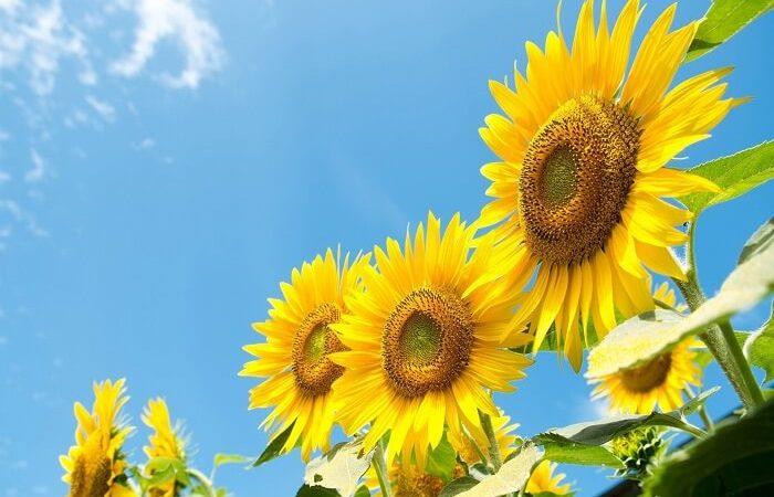 Hoa hướng dương: Đặc điểm, ý nghĩa, tác dụng, cách trồng và chăm sóc