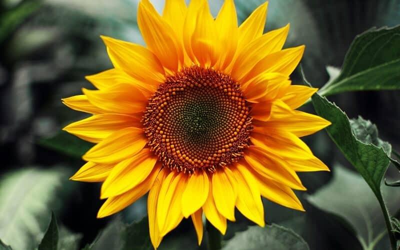 hoa hướng dương hình lưỡi màu vàng rực rõ