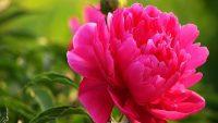 Hoa Mẫu Đơn duyên dáng tuyệt đẹp, hương thơm nồng nàn mà cũng rất nhiều tác dụng