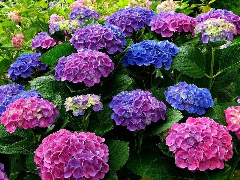 tặng hoa cẩm tú cầu như một lời xin lỗi chân thành