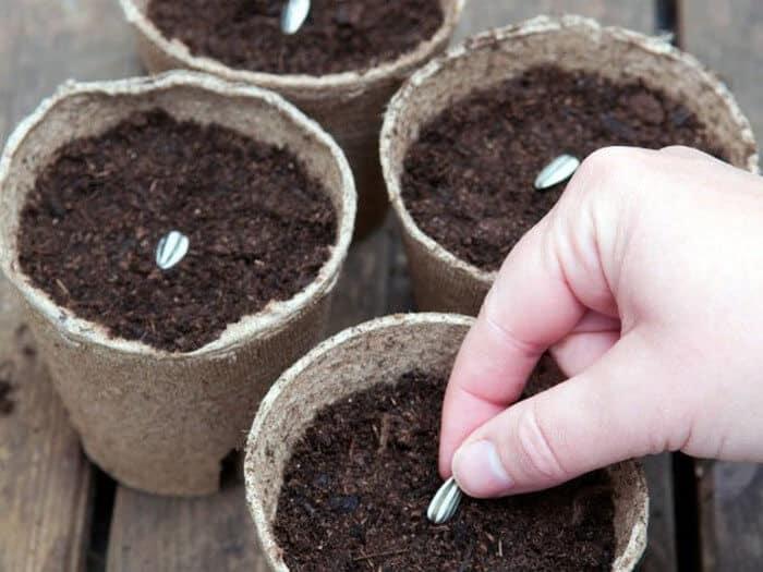 trồng hướng dương bằng hạt rất dễ lên