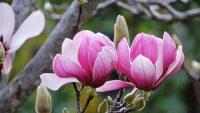 Hoa mộc lan, món quà thanh lọc tâm hồn từ thiên nhiên