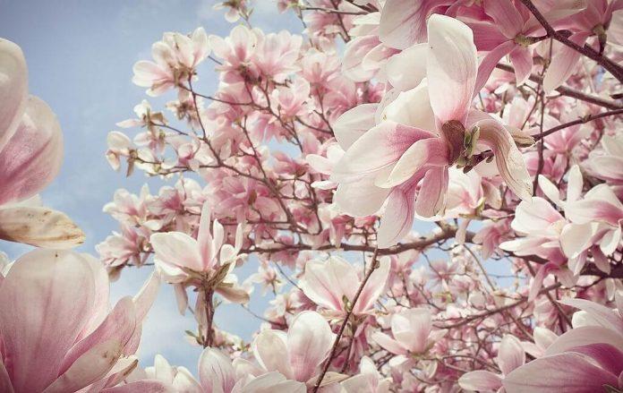 cách trồng hoa mộc lan đẹp