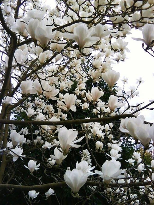 hoa-mộc lan trắng