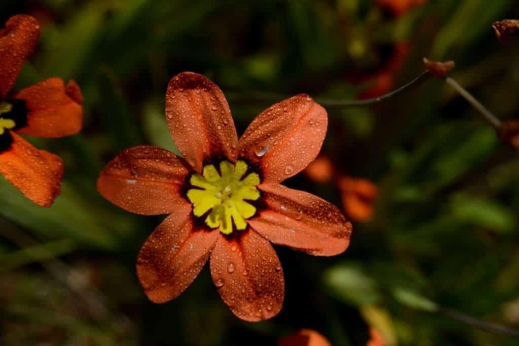 giới thiệu loài hoa Sparaxis
