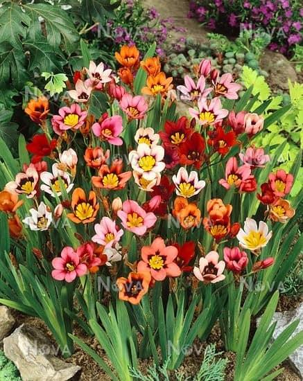 loài hoa Sparaxis