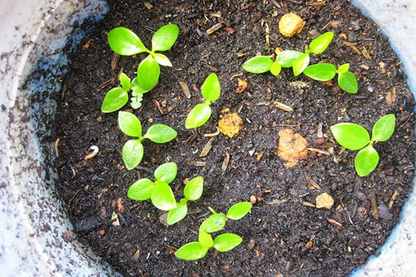 Chậu lan cẩm cù được trồng bằng phương pháp gieo hạt