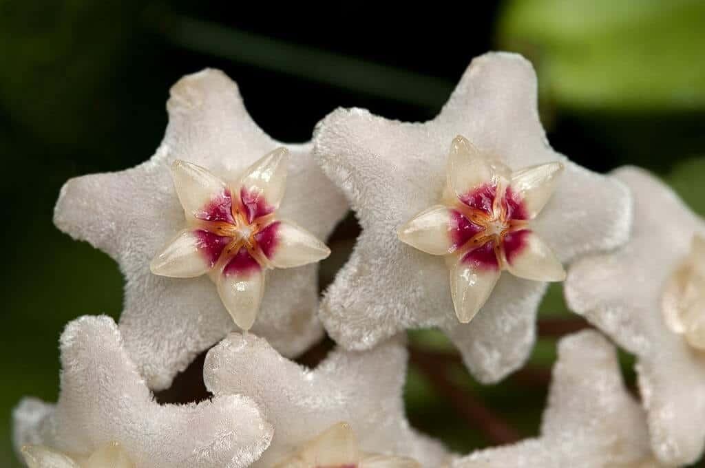 Cận cảnh hoa lan cẩm cù