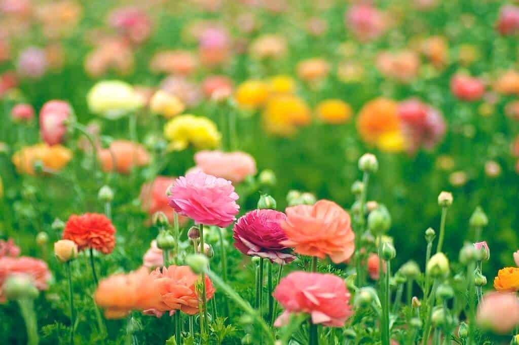 hoa mao lương đẹp
