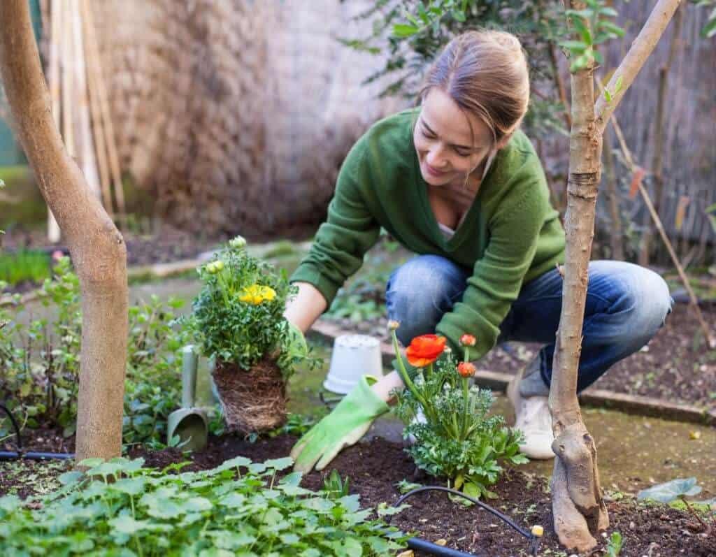 trồng hoa mao lương đẹp
