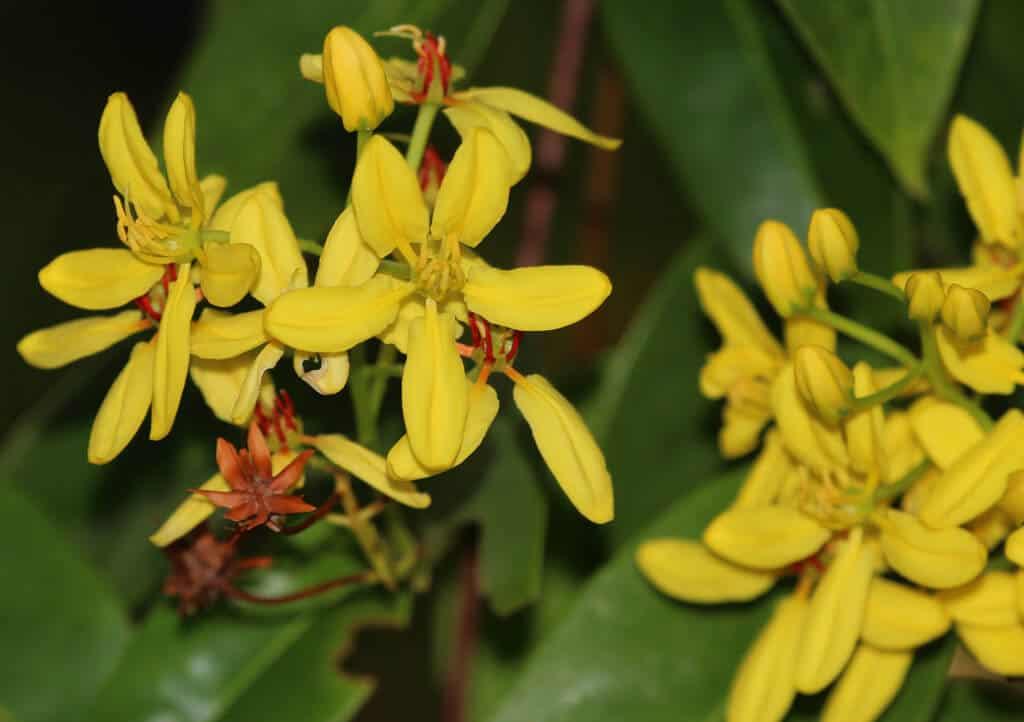 Sắc màu vàng tươi của hoa mai hoàng yến