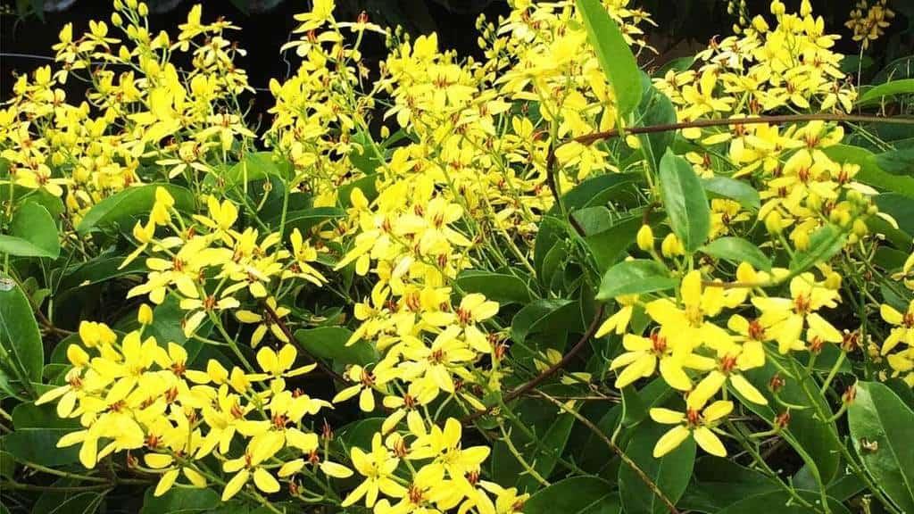 Hoa mai hoàng yến (kim đồng vàng)