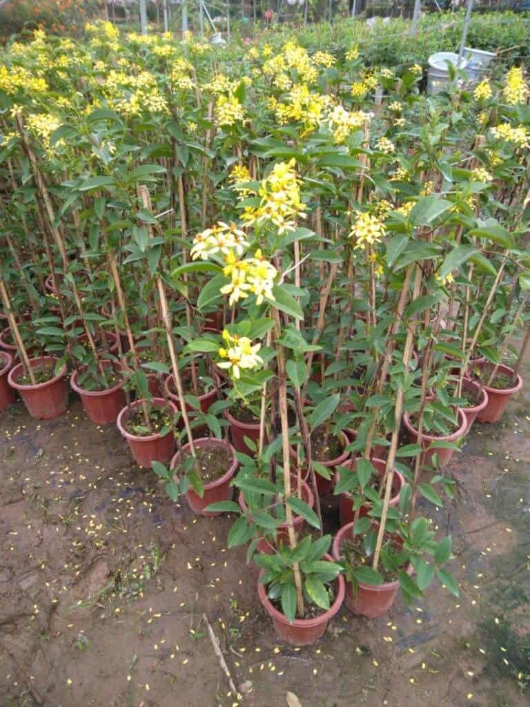 Mai hoàng yến dạng bụi được trồng trong chậu