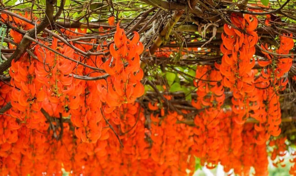 Hoa móng cọp đỏ