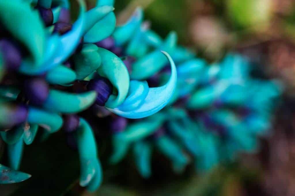 Cận cảnh hoa móng cọp