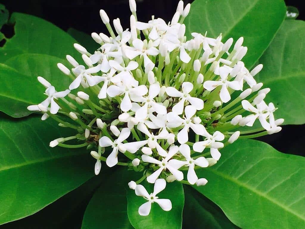 Trang trắng - Ixora finlaysoniana