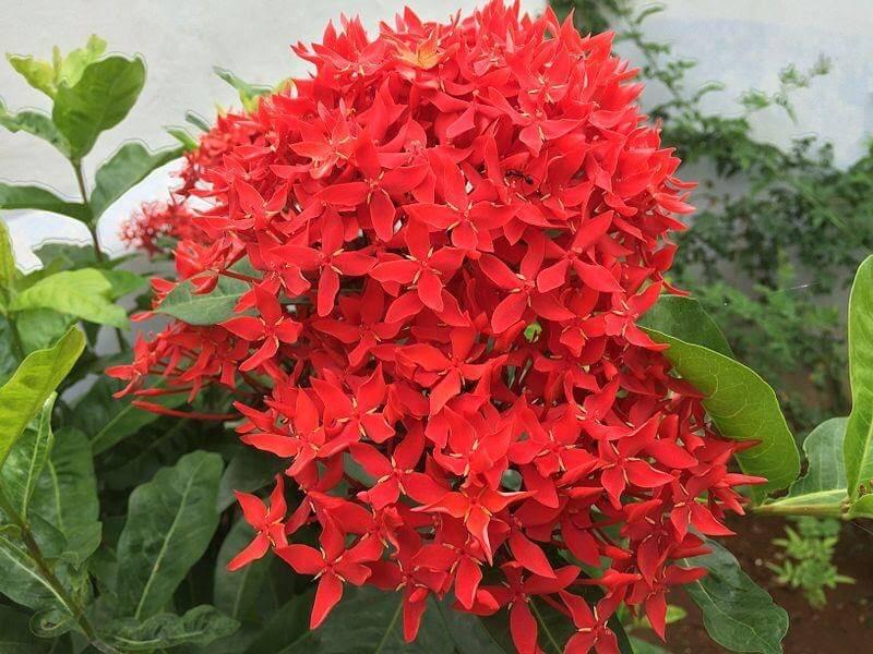Ixora coccinea - Trang đỏ