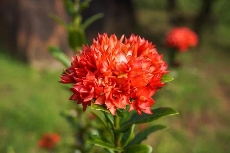 Mini double red ixora - Đơn (trang) sen cận cảnh bông hoa