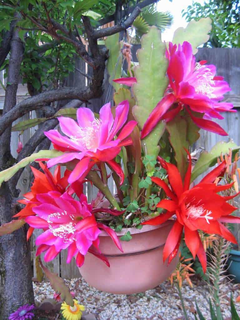 cây hoa nhật quỳnh