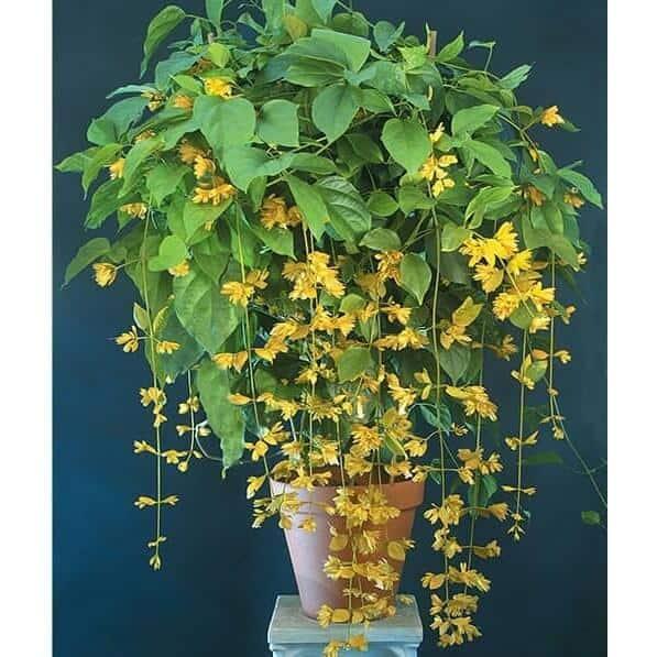Hoa lan hoàng dương được trồng trong chậu