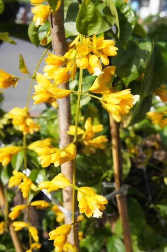 Hình ảnh cận cảnh hoa lan hoàng dương