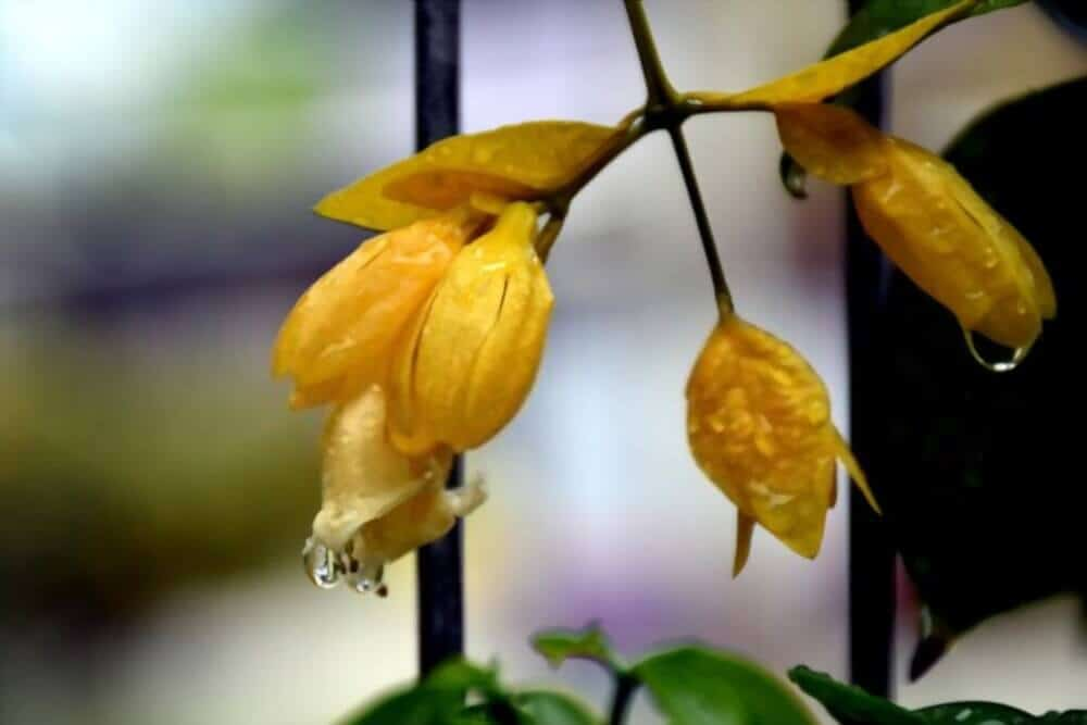 Sắc vàng rực rỡ của hoa lan hoàng dương