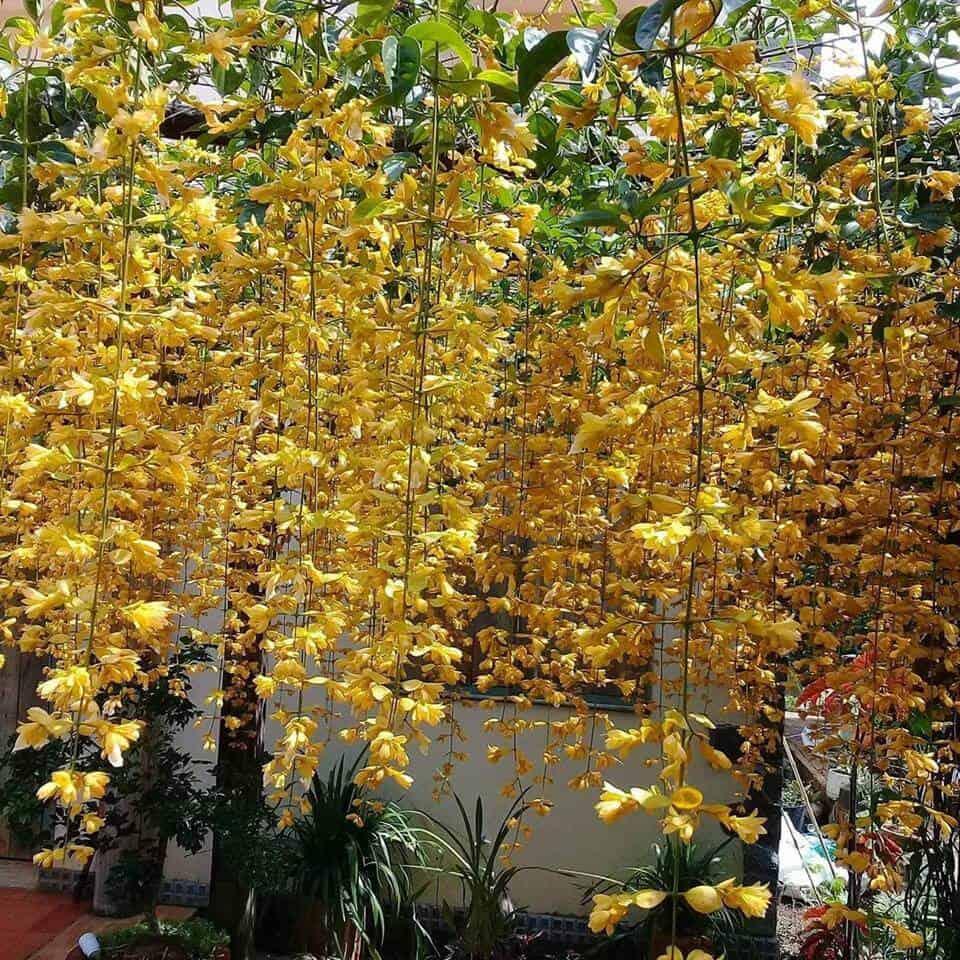 Hoa lan hoàng dương được trồng dưới dạng dây leo