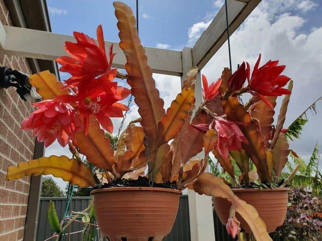 cây hoa nhật quỳnh đỏ