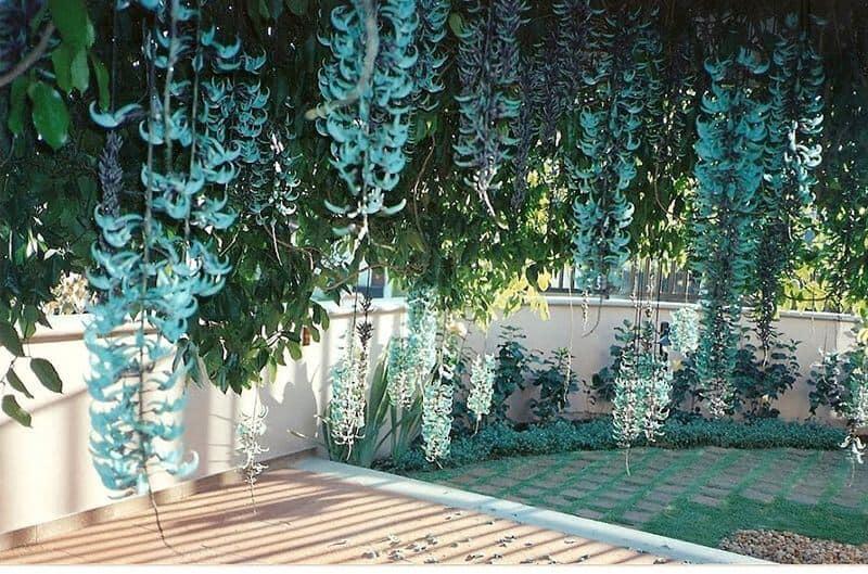 Hoa móng cọp được trồng để tạo cảnh quan sân nhà