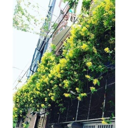 Hoa mai hoàng yến được trồng làm tường rào