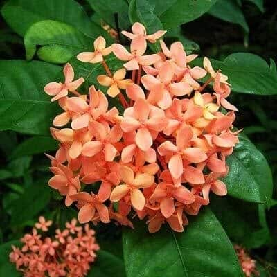 Dwarf Ixora Orange