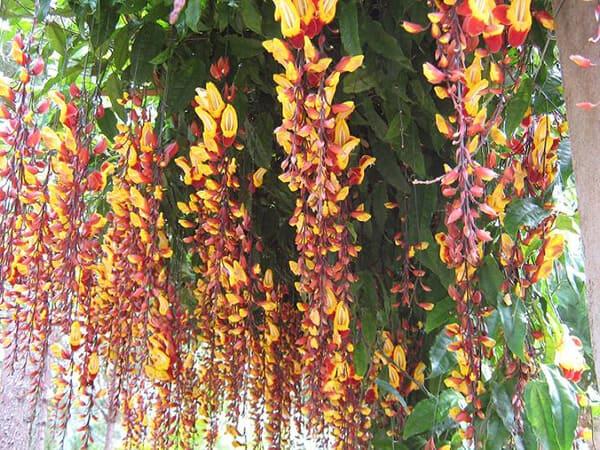 Hoa móng cọp vàng