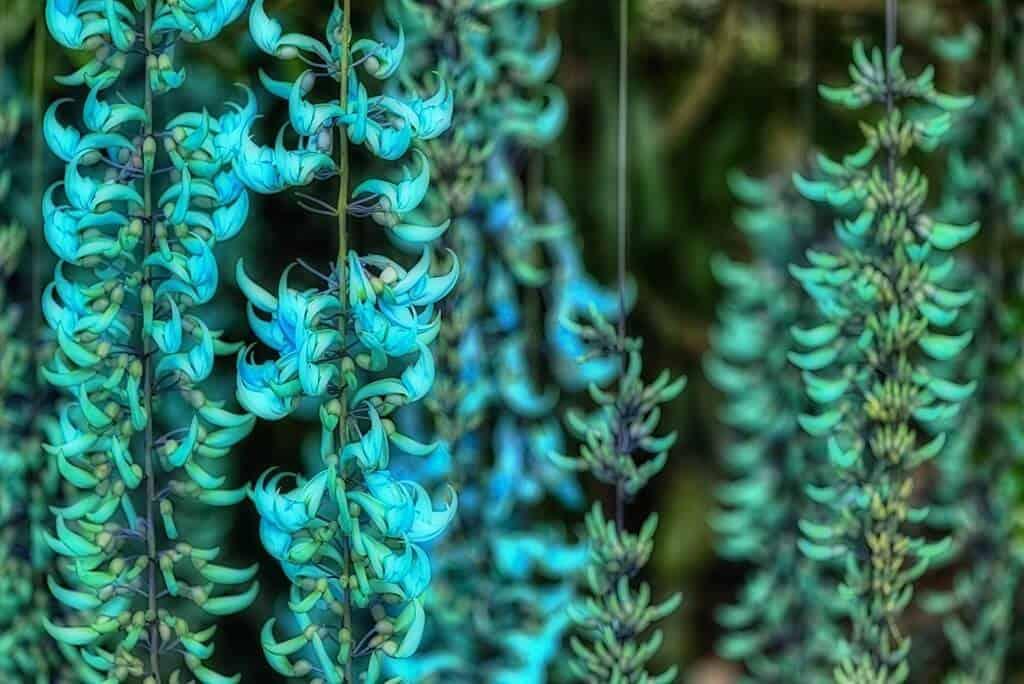 Hoa móng cọp xanh