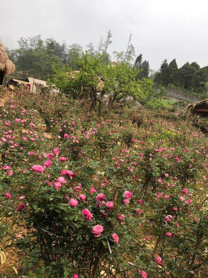 Hồng cổ Sapa được trồng ở nhiều vùng tại Việt Nam