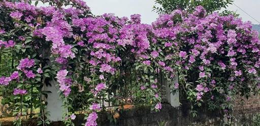 Hoa lan tỏi được ưa chuộng trồng ở tường nhà