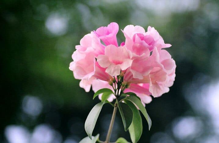 Chùm hoa lan tỏi