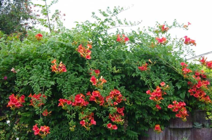 Hoa đăng tiêu có thể leo cao đến vài mét