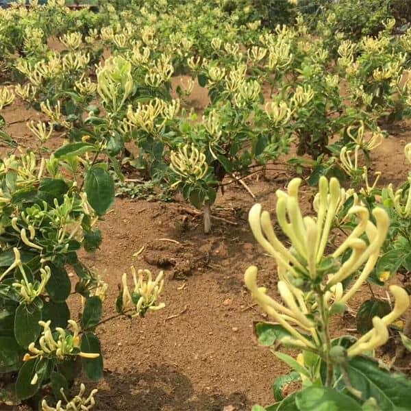 Hoa kim ngân được trồng nhiều để làm dược liệu