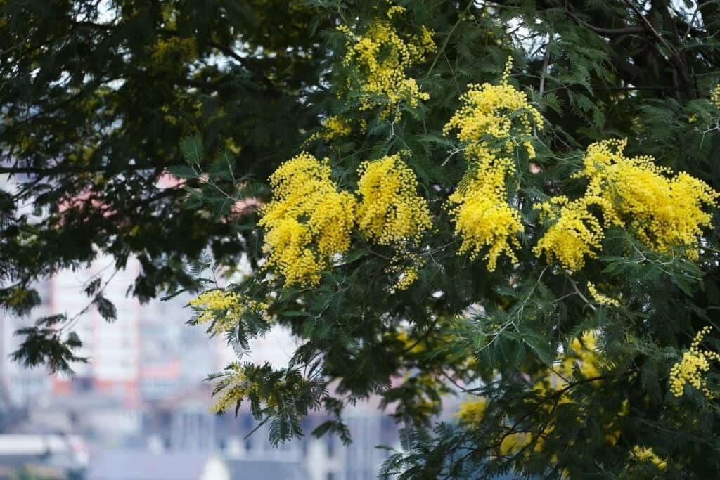 Hoa Mimosa – Acacia dealbata