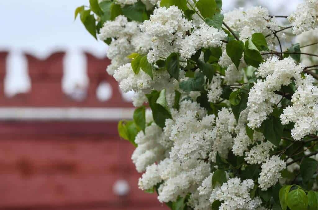 Hình ảnh hoa tử đinh hương trắng