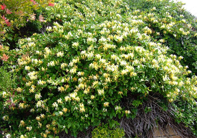 Hoa kim ngân được trồng làm cảnh