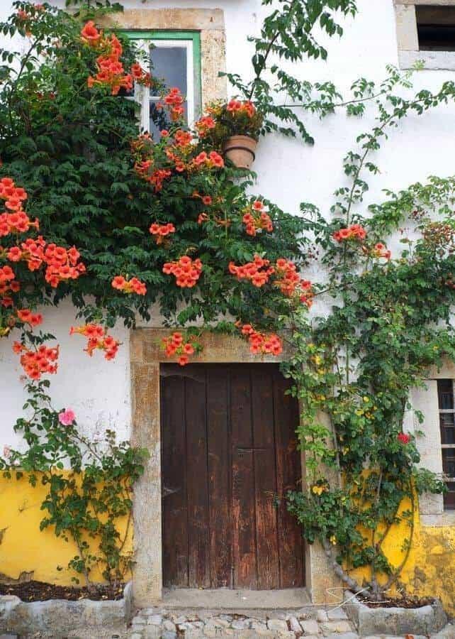 Hoa đăng tiêu được trồng để tạo cảnh quan