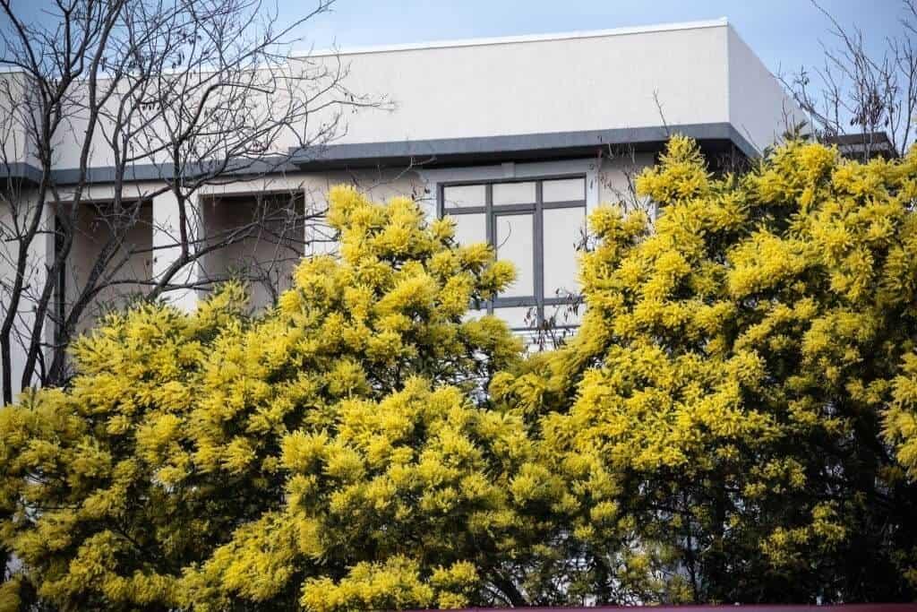 Mimosa được ưa chuộng trồng trong khuôn viên gia đình