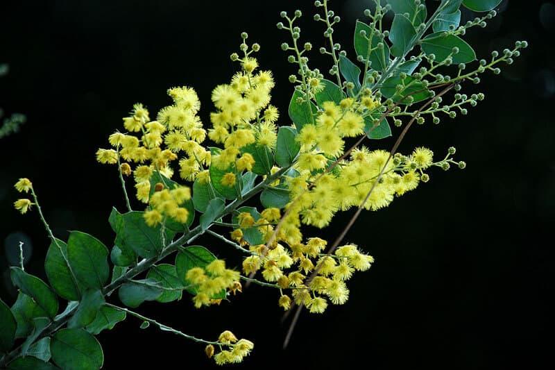 Hoa Mimosa với nhiều ý nghĩa đặc biệt